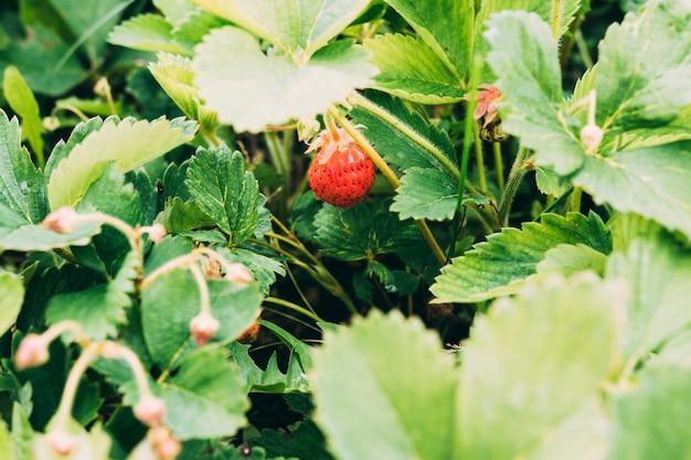 植物の小さなイチゴ