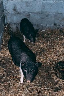 Концепция фермы с черными свиньями