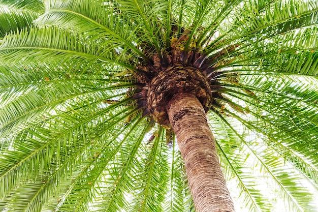 亜熱帯の日付のヤシの木の低アングルのビュー