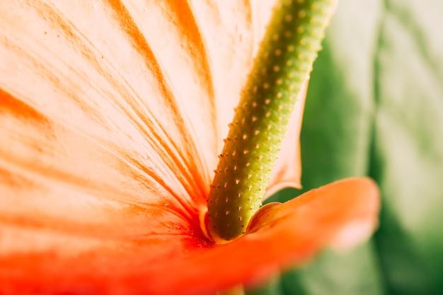 アンスリウムの花のマクロショット