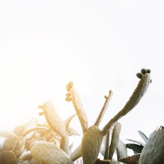Солнечный свет над листьями зеленого колючего груша кактуса