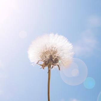 太陽の光、タンポポ、花、青、空