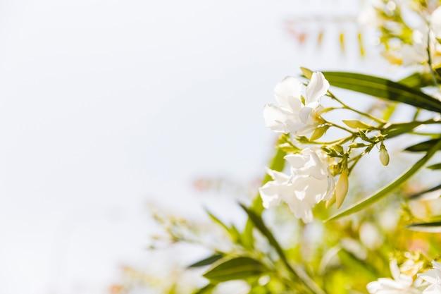 白いオレアンダーの花は庭で成長しています