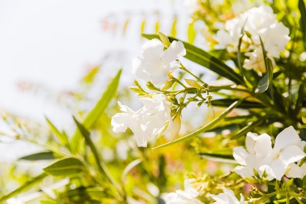 ネリリウムオレアンダーツリーの花