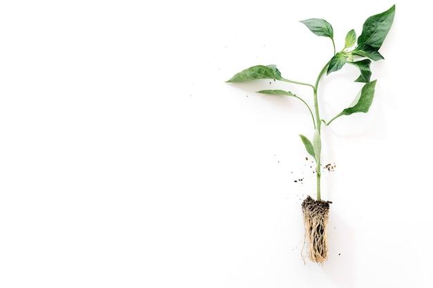 白い背景に根を持つ植物