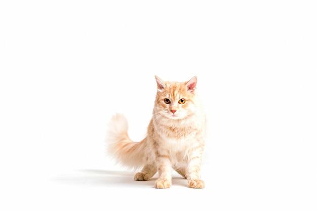Портрет милый табби кошка, изолированных на белом фоне