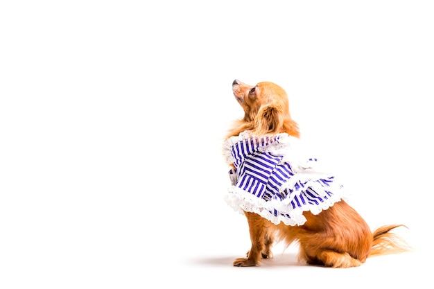 Стильная послушная собака на белом фоне