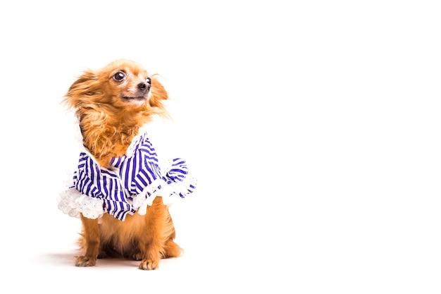 Симпатичная одет коричневая собака, изолированных на белом фоне