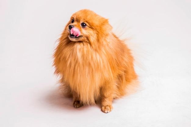 白い背景の上に舌をくっつける赤いスピッツ犬