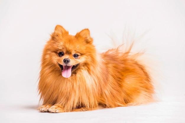 赤いスピッツ犬は、白い背景に