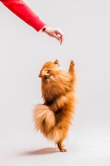 女性の手から食べ物を取っている後足に立っている赤いスピッツ