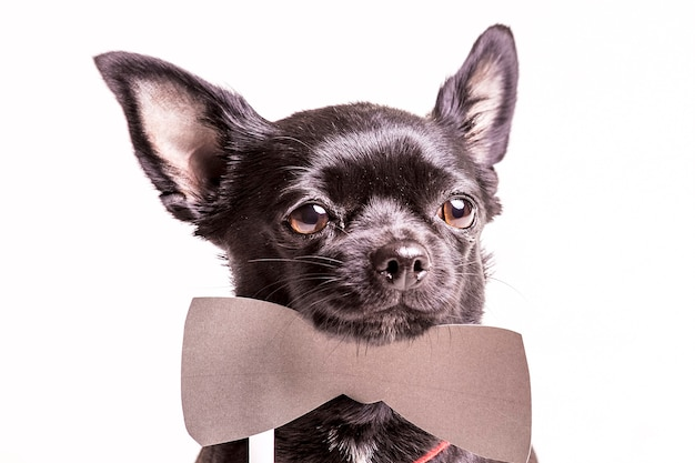 Портрет черной собаки-бостон-терьера с бабочкой