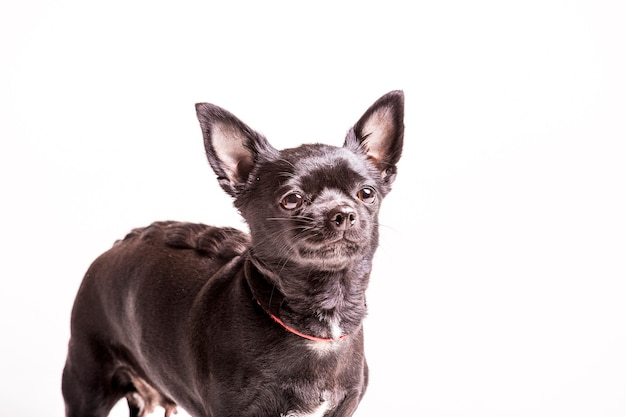 白い背景のボストンテリア犬