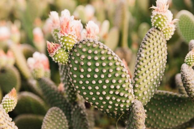 Крупный план кактуса опунции