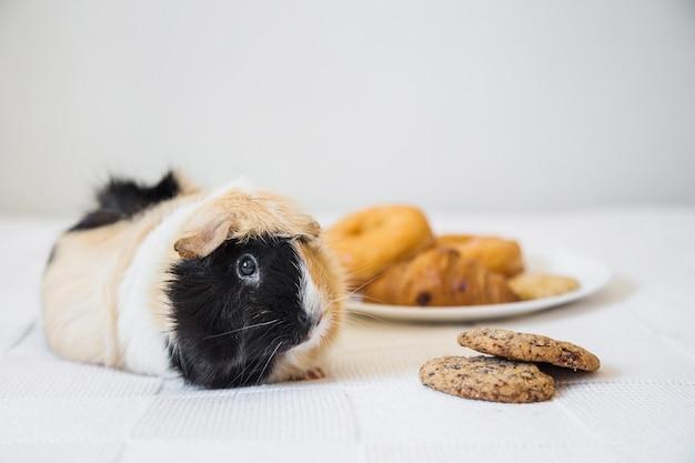 Морская свинка, лежащая возле печенья