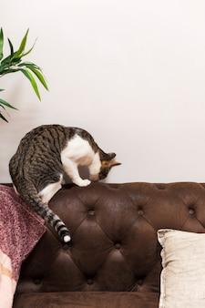 Кошка, обнюхивающая кушетку назад