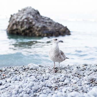 ペブルビーチで海岸でのカモメのクローズアップ