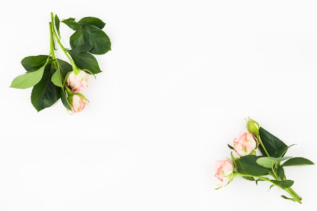 白い背景の隅に芽を持つ白いピンクのバラ