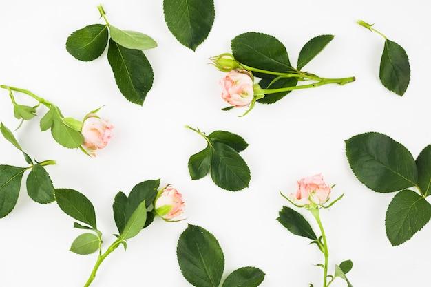 白い背景に葉のピンクのバラ