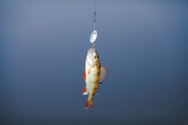 ルアーに釣られた魚のクローズアップ