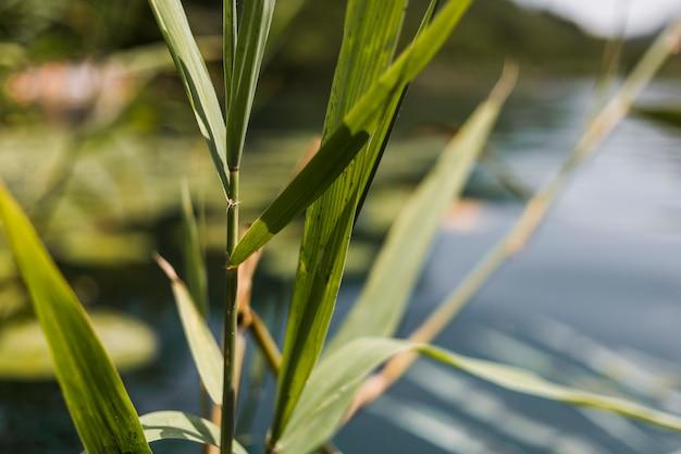 水の近くの葦のクローズアップ
