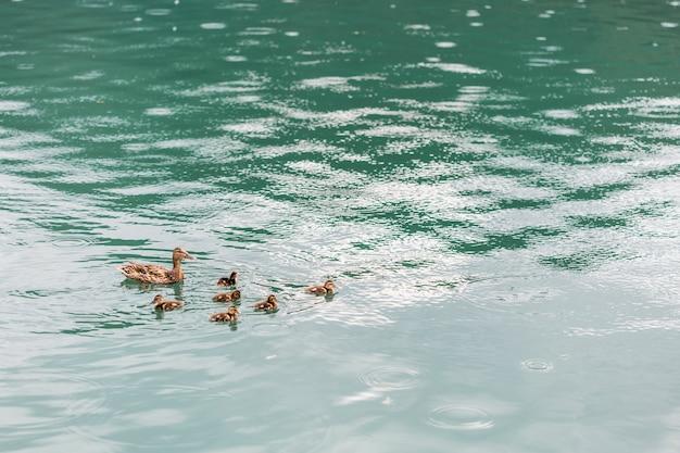 池の上でアヒルと泳いでいる母親のアヒル