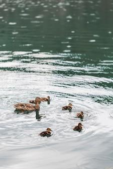 湖の上の赤ちゃんのアヒルと一緒に泳ぐマガモアヒル