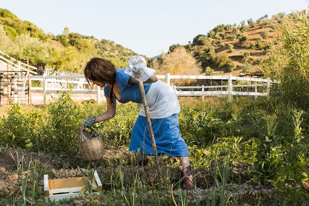 フィールドで野菜を収穫する女性