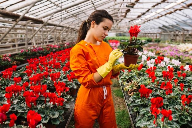 赤い花の鉢を調べている若い女性の庭師