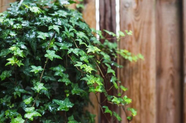 濡れた緑色のアイビーの葉のクローズアップ
