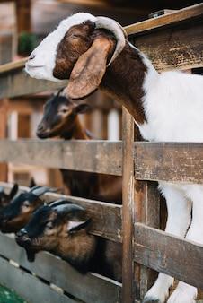 木製のフェンスから覗き込むヤギの側面図