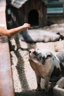 ファームの豚にクッキーを与える女の子の手