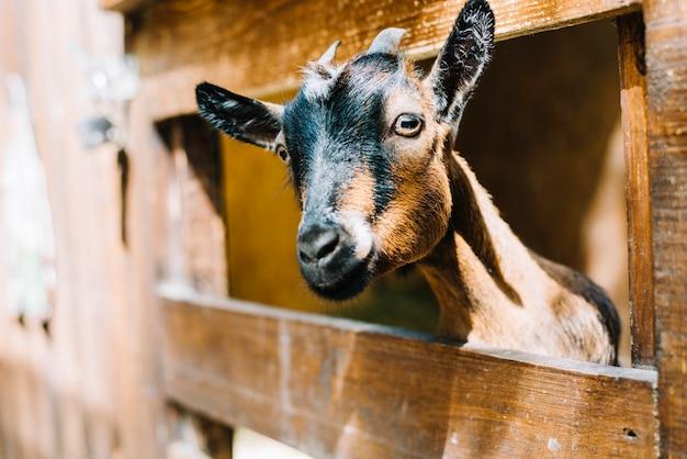 黒と茶色のヤギは木製のフェンスから頭を覗いている