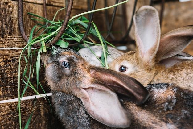 ウサギ、草を食べる、クローズアップ