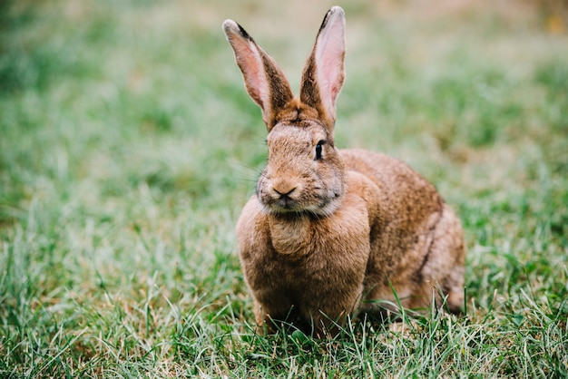 緑色の草の上に座っている大きな耳の茶色のウサギ