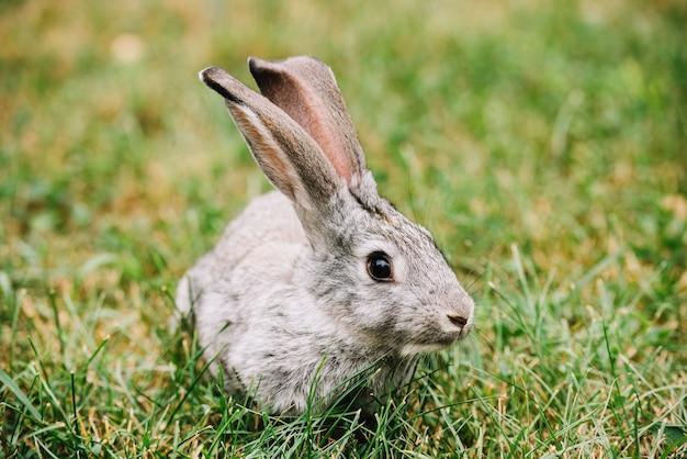青い草の上に横たわるグレーのウサギ