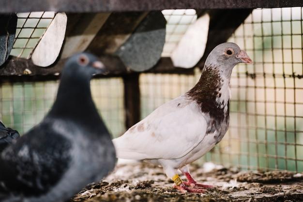 Вид сбоку двух голубей в клетке