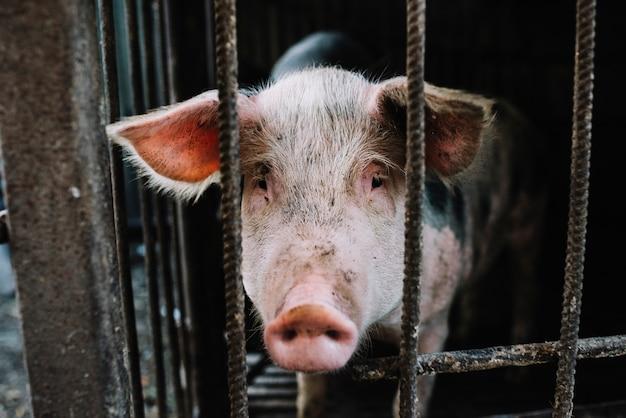 ケージからの食べ物のために国内の若い豚の鼻が嗅ぐ