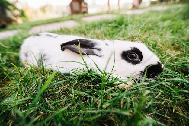 緑の草の上に横たわる白いウサギ