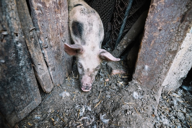 豚のペンから出てくる豚の頭上