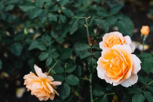 美しいバラ、庭に咲く