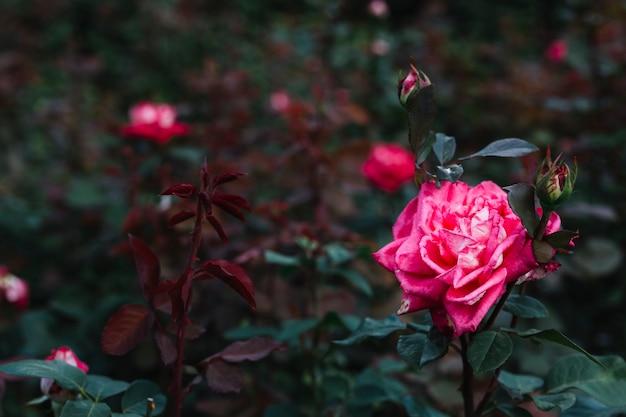 美しいピンクのバラのクローズアップ