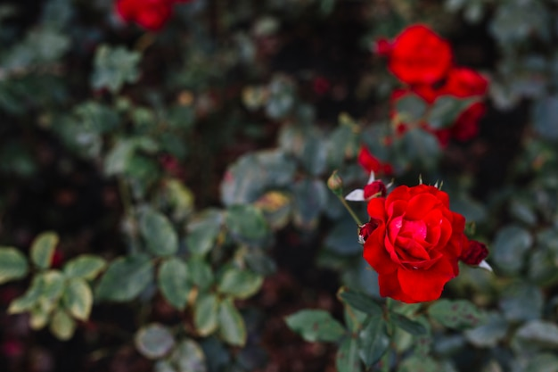 植物園で咲く赤いバラ