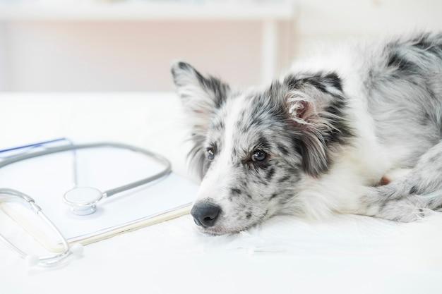 Стетоскоп в буфере обмена с больной собакой, лежащей на рабочем столе в клинике