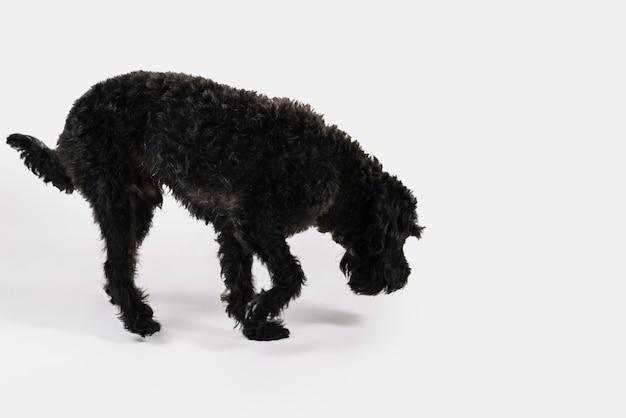 白い背景でポーズをとっている美しい黒い犬