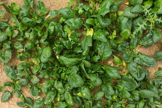 ホウレンソウの葉