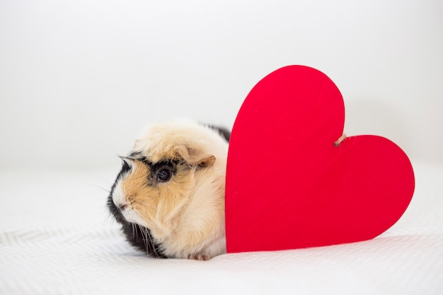 Смешная морская свинка возле декоративного сердца
