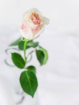 ライトテーブルの上に立つ白いバラ