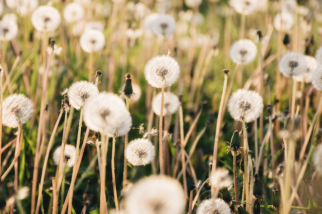 Одуванчики, растущие на большом поле