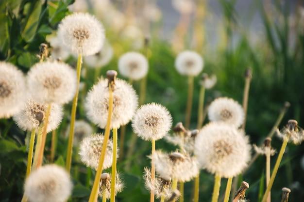 Одуванчики растут возле зеленой травы